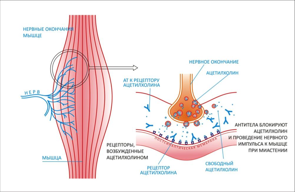 Синапс Нервно-Мышечный