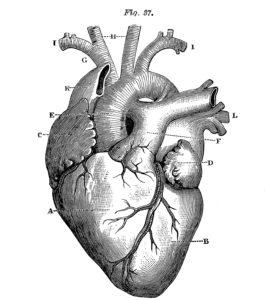 Anatomy-serdce_Heart-Images-Vintage